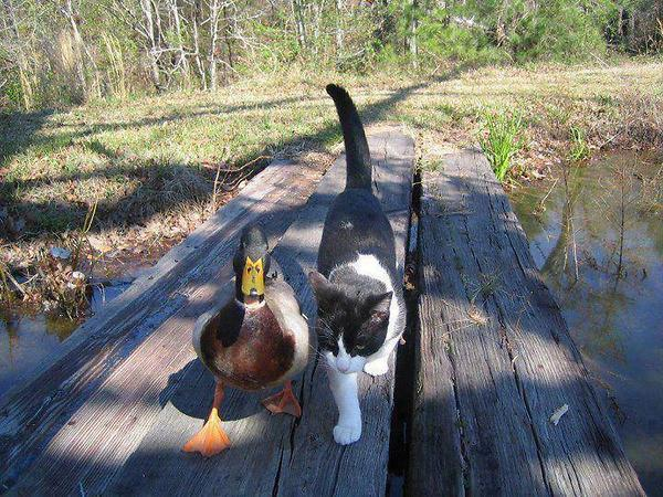 a.baa-Cat-and-duck-walk-together